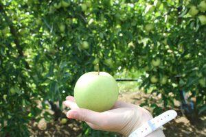 cueillette pommes bledina