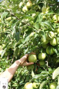 cueillette-pommes-bledina