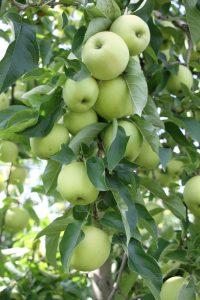 pommes verger bledina