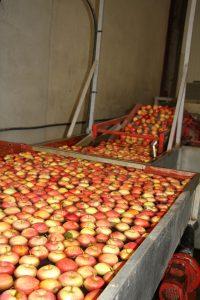 pommes calibrage bledina