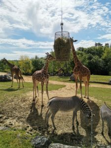 girafe zooparc beauval