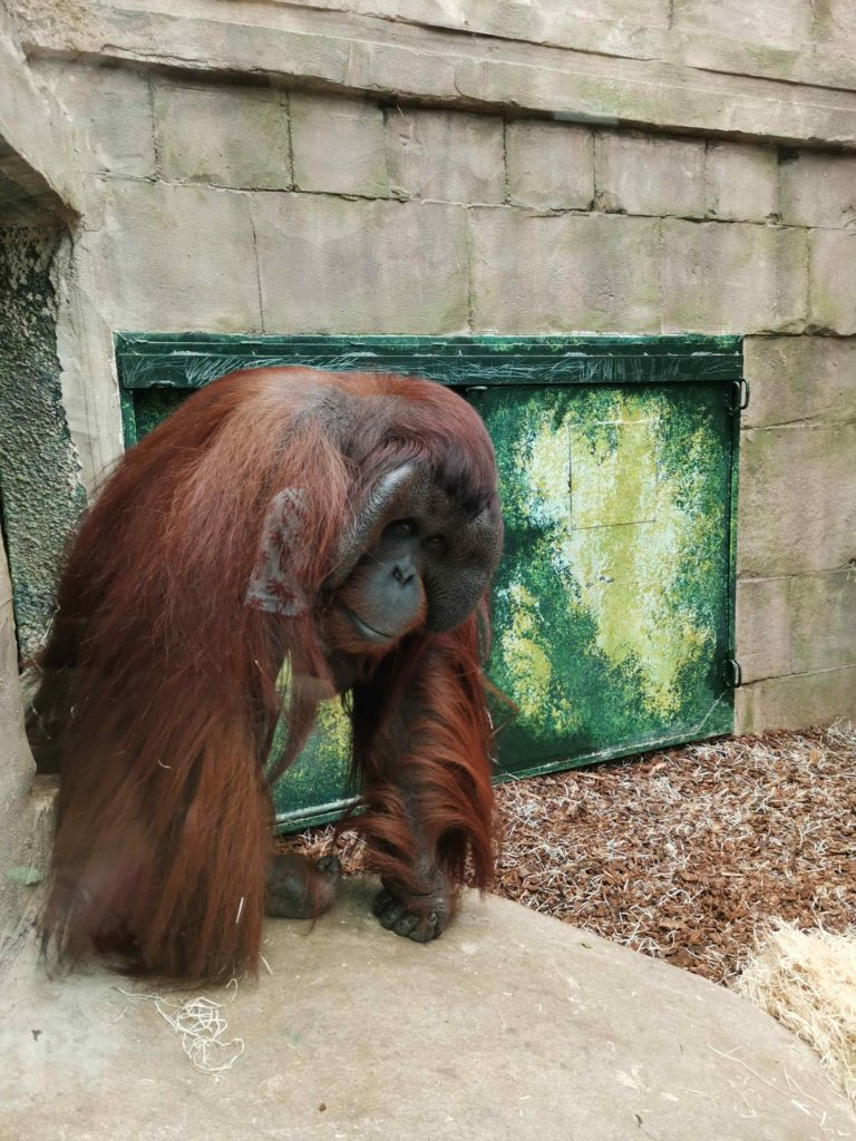 orang outan zooparc beauval