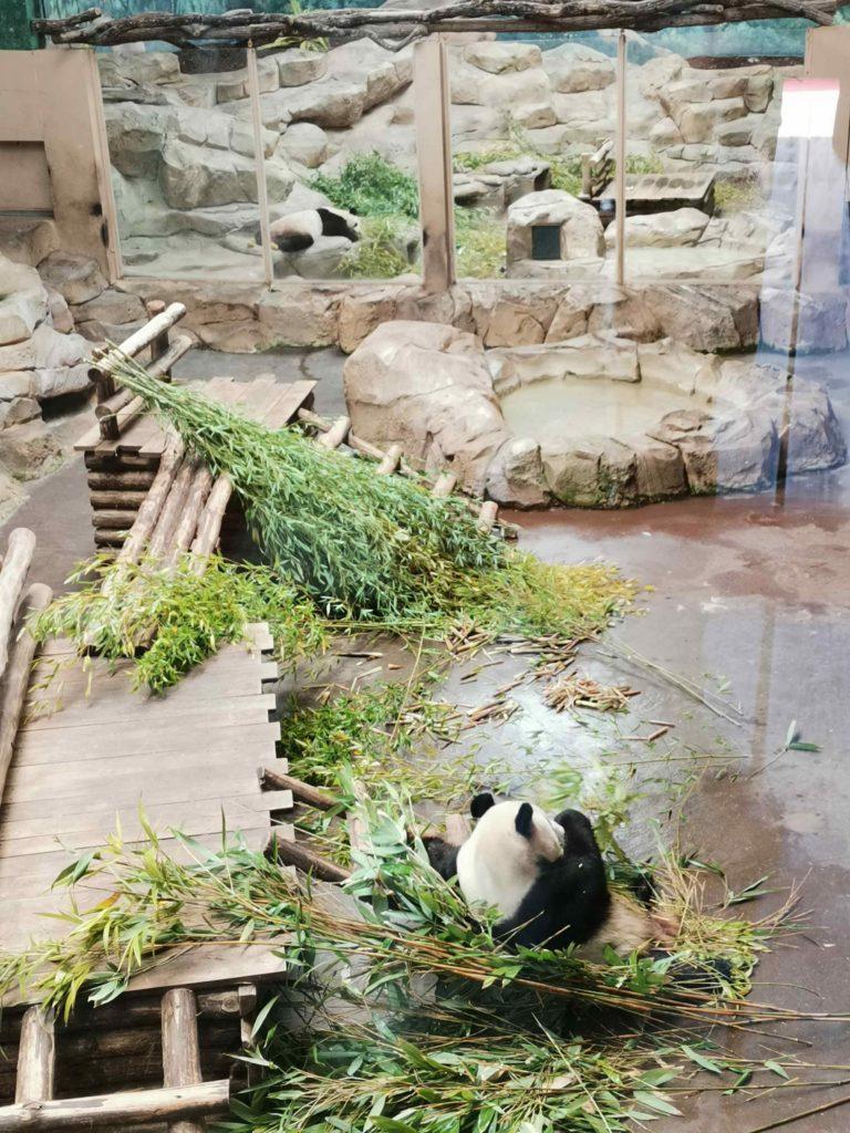 panda géant zooparc beauval